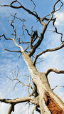 Dead Oak Tree. Abstract Nature - Looking up at a Dead Oak Tree Stock Image