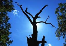 Dead oak tree Royalty Free Stock Photo