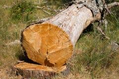 Dead oak tree Stock Photos