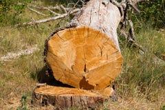 Dead oak tree Royalty Free Stock Image
