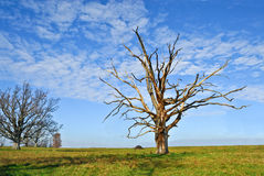 Dead Oak Tree Royalty Free Stock Image