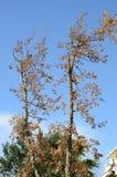 Dead oak tree Stock Images