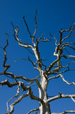 Dead oak tree Stock Images