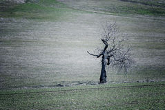 Dead oak tree in a field Royalty Free Stock Photos