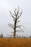 Dead Oak tree Stock Photography