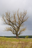 Dead old tree Royalty Free Stock Photos