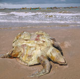 Dead of the Olive ridley Lepidochelys olivacea on beach of the v Stock Photo