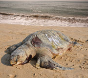 Dead of the Olive ridley Lepidochelys olivacea Royalty Free Stock Images