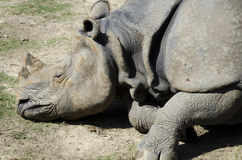 Dead one-horned rhino Royalty Free Stock Images
