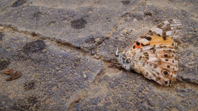 Dead orange butterfly on the pavement Royalty Free Stock Images
