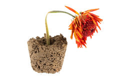 Dead orange gerbera flower in soil Royalty Free Stock Image