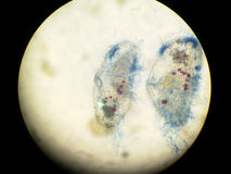 Dead paramecium Royalty Free Stock Photos