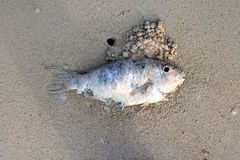 Dead parrot fish on the beach. Stock Image
