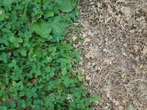 Dead patch of clover. Green clover with dead patch of brown clover Royalty Free Stock Photos