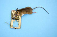 Dead  pest Apodemus flavicolis Yellow necked mouse  in  mousetrap Stock Photos