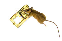Dead  pest mouse Apodemus flavicolis Yellow necked mouse  in  mousetrap Stock Photos