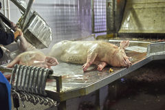 Dead pig carcasses Royalty Free Stock Photos