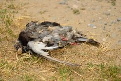 Dead pigeon decomposing. On grass Royalty Free Stock Photos