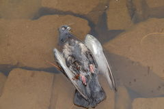 Dead pigeon Royalty Free Stock Image