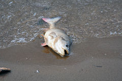 Dead pikeperch Royalty Free Stock Images