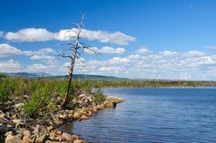 Dead pine. Dead tree on coast of lake. Summer Royalty Free Stock Photo