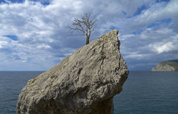 Dead pine on the cliff above the sea. Stock Images