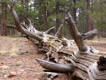 Dead pine Royalty Free Stock Photos