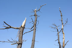 Dead pine tree Royalty Free Stock Photo
