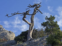 Dead pine tree on a cliff. Stock Images
