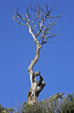 Dead pine tree on a cliff. Stock Image