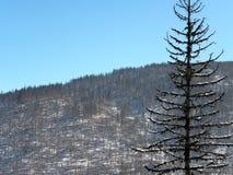 Dead pine tree Stock Photos