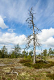 Dead pine tree Royalty Free Stock Images