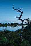 Dead pine tree in a marsh. By the marsh pool Stock Images