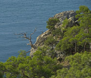 Dead pine tree overlooking the sea. Royalty Free Stock Photography