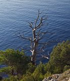 Dead pine tree overlooking the sea. Royalty Free Stock Image