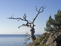 Dead pine tree overlooking the sea. Royalty Free Stock Photo