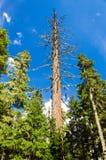 Dead Pine Tree Stock Photo