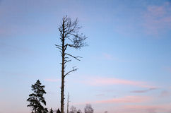 Dead pine tree silhouette Stock Photography