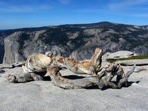 Dead pine tree, Yosemite National Park Royalty Free Stock Photo