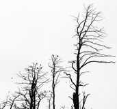 Dead pine trees against sky background Stock Photo