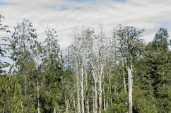 Dead pine trees. Cormorant colony and dead pine trees in Juodkrante, Lithuania Royalty Free Stock Photography