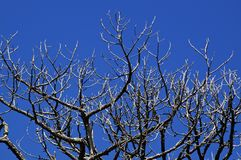 Dead pine trees with deep shadows. Looking up at bare pine trees that appear to be dead with deep shadows and clear blue sky stock image