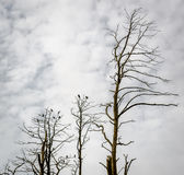 Dead pine trees. Juodkrante, Lithuania Royalty Free Stock Photos