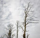 Dead pine trees. Juodkrante, Lithuania Royalty Free Stock Photos
