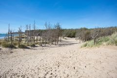 Dead pine trees at newborough in Anglesey Royalty Free Stock Images