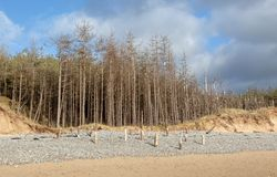 Dead pine trees at newborough in Anglesey stock photos