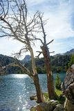 Dead pine trees in Tort de Peguera lake, Aiguestortes stock images