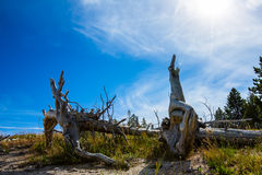 Dead pines under blue sky in yellowstone park. Dead pine trees in Yellowstone park stock image