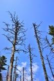 Dead pine trunks Stock Photography