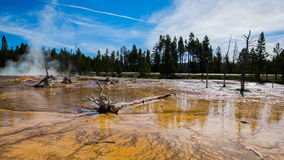 Dead pine in wetlands with geothermal in yellowstone park. Dead pine in wetlands with Geothermal and sunshine reflection in Yellowstone Park royalty free stock image